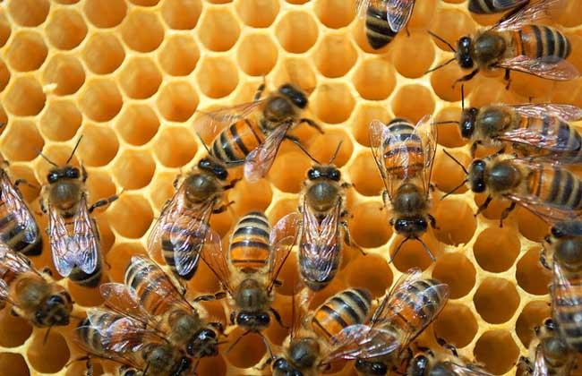 蜜蜂怎么养