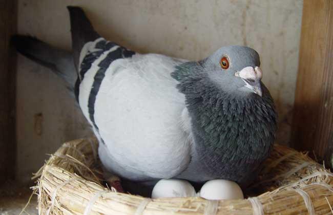 母鸽子不下蛋怎么办
