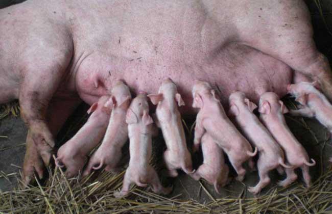 母猪产仔少