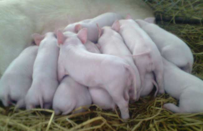 母猪没有奶水怎么办
