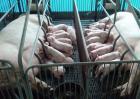 母猪产后不吃食怎么办?