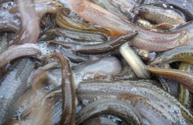 泥鳅和黄鳝哪个好养殖?
