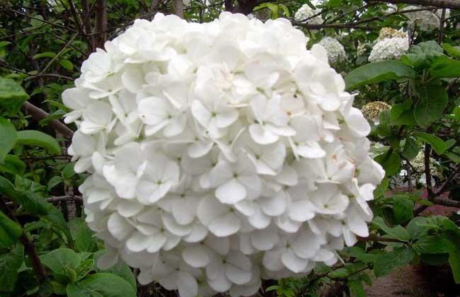琼花和绣球花的区别