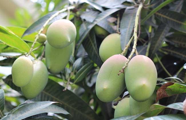 青芒果怎么算成熟了?