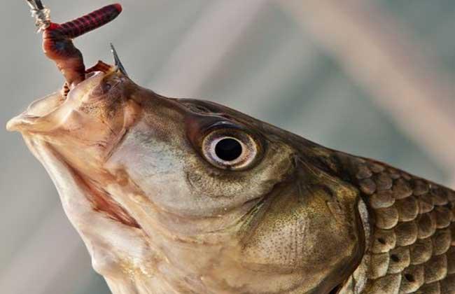 蚯蚓钓鱼技巧
