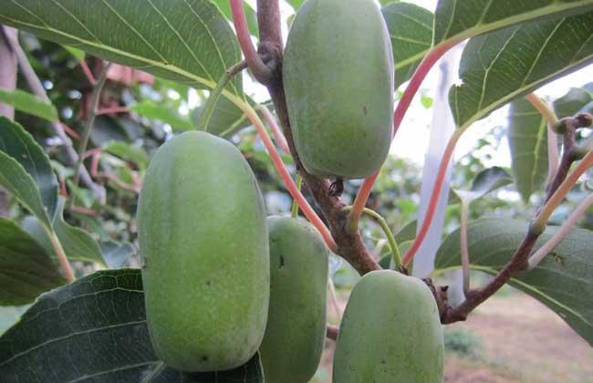 软枣猕猴桃多少钱一斤