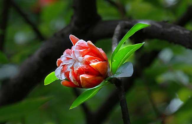 石榴树什么时候开花