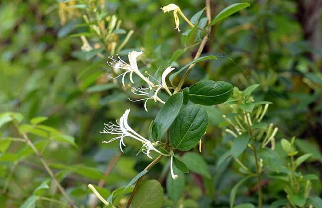 四季金银花树种植技术