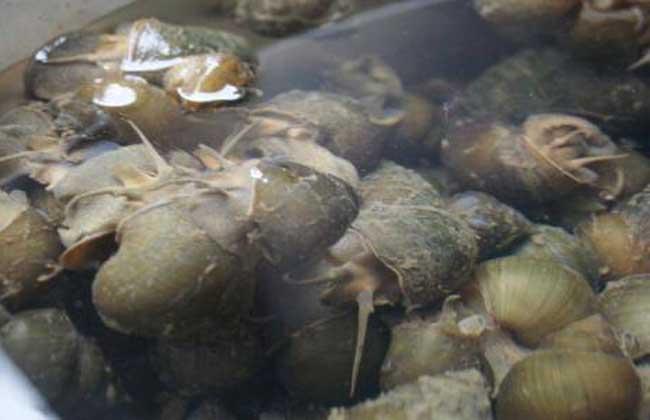 田螺养殖技术