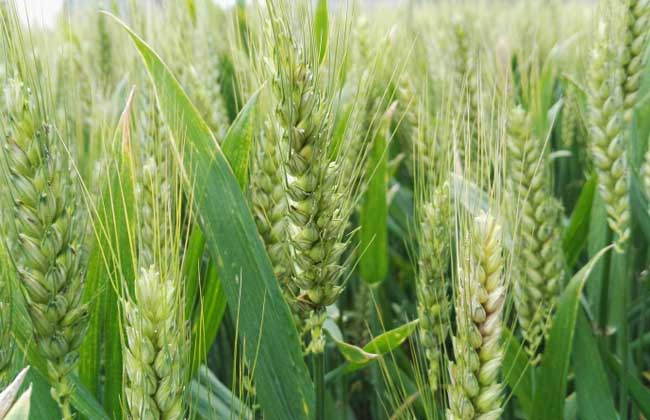 小麦什么时候传入中国