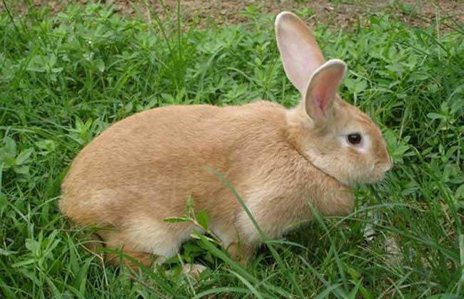 兔子球虫病吃什么药?