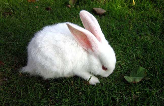 兔子球虫病吃什么药