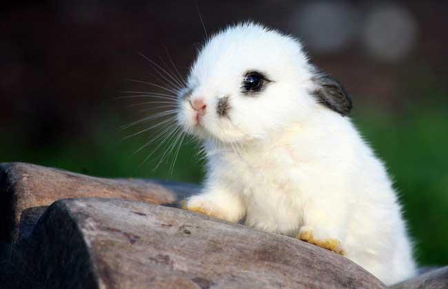 兔子怎么分公母
