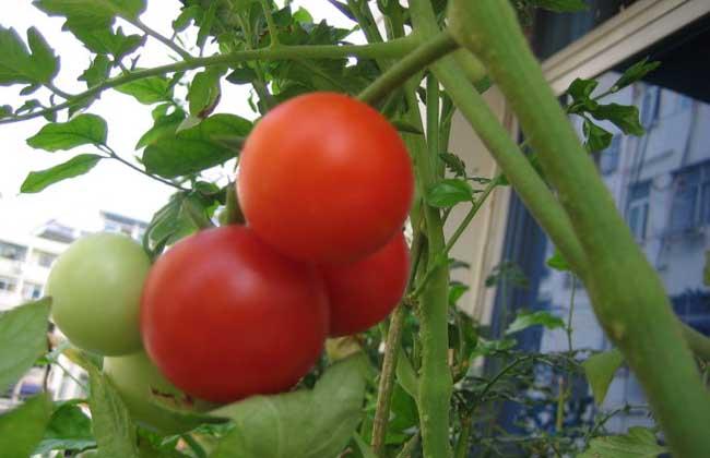 西红柿是水果还是蔬菜?