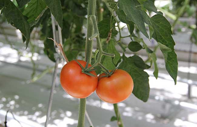 西红柿是水果还是蔬菜