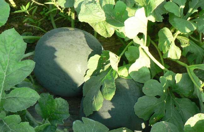 无籽西瓜的培育过程