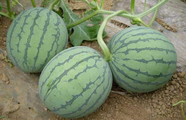 无籽西瓜对人有害吗?