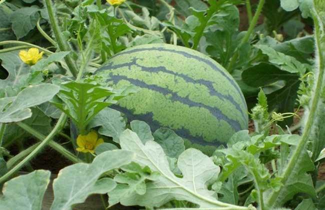无籽西瓜是怎么来的