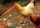 土鸡价格多少钱一斤?