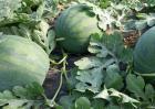 无籽西瓜是怎么来的?
