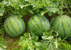 西瓜能和桃子一起吃吗?