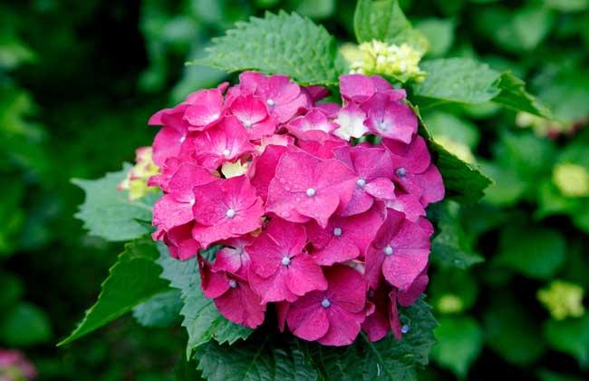 绣球花什么时候开花?