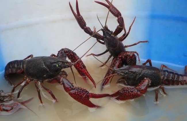 养小龙虾赚钱吗