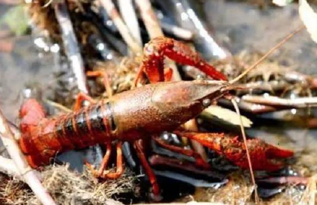 养龙虾要投资多少钱?