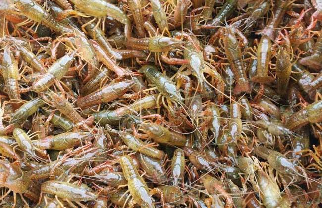 养龙虾要投资多少钱