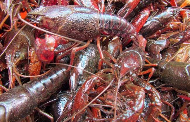 小龙虾好养吗