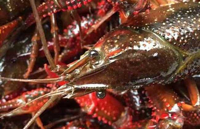 小龙虾怎么去虾线