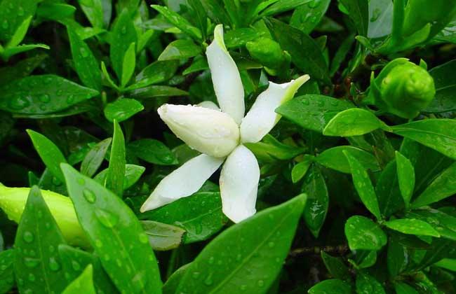 小叶栀子花