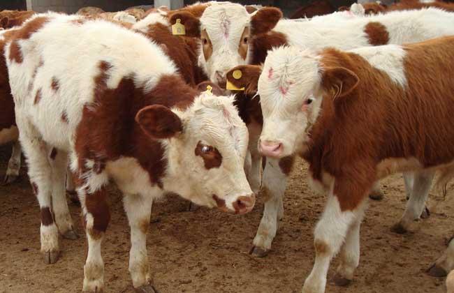 养肉牛什么品种好