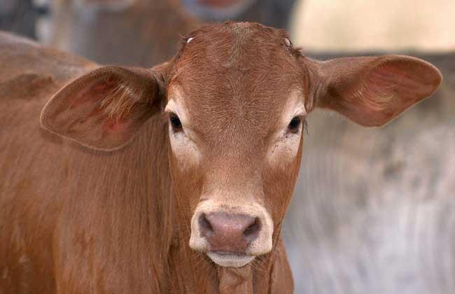 养20头肉牛投资多少钱?
