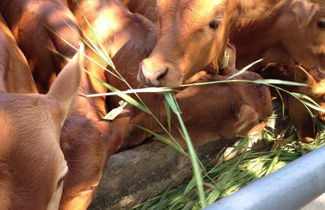 养肉牛投资多少钱