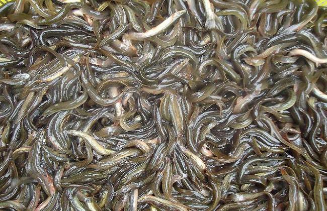 养一亩泥鳅能挣多少钱?