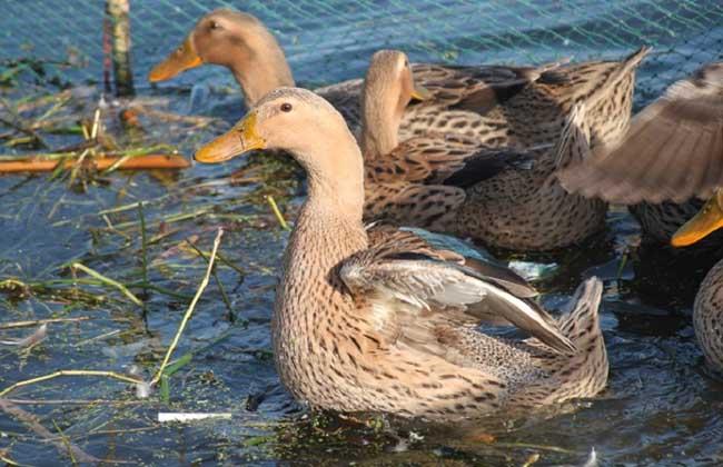 养鸭子需要多少投资?