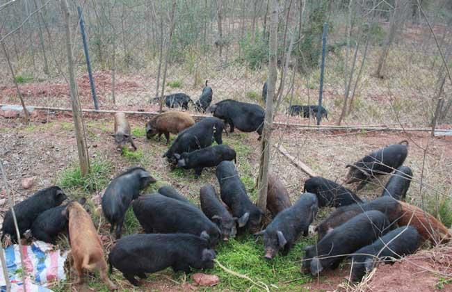 养野猪需要什么条件?