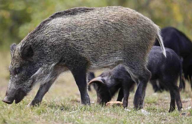 养野猪要什么条件