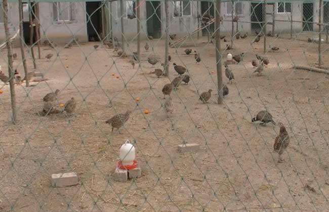 养野鸡要什么手续