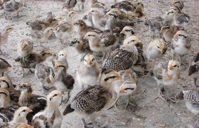 养野鸡有销路吗