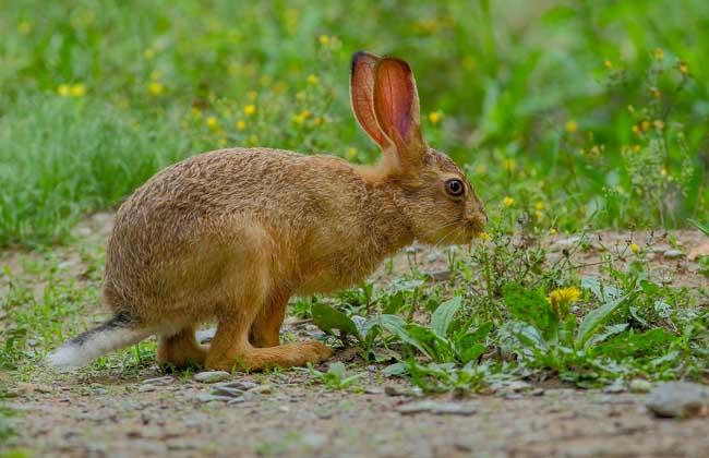 野兔和家兔有什么区别?
