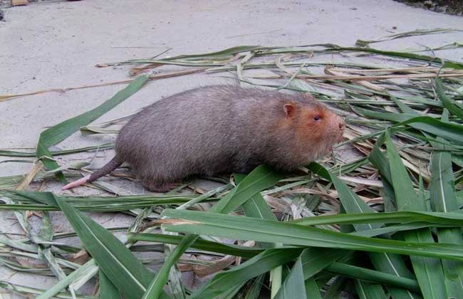养殖竹鼠有销路吗