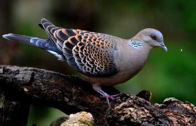 野鸽子和斑鸠的区别