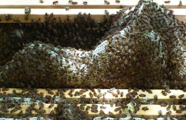 怎样养蜜蜂才不跑?