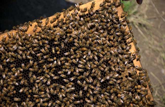 怎样招蜜蜂方法最快