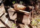 怎样招蜜蜂方法最快?