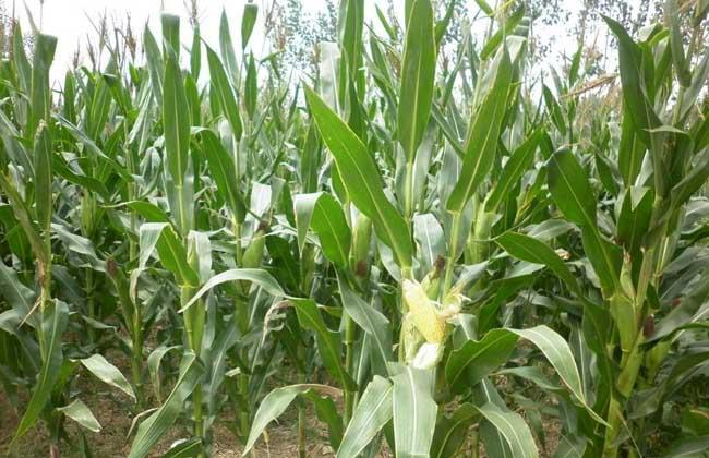 种玉米用什么肥料