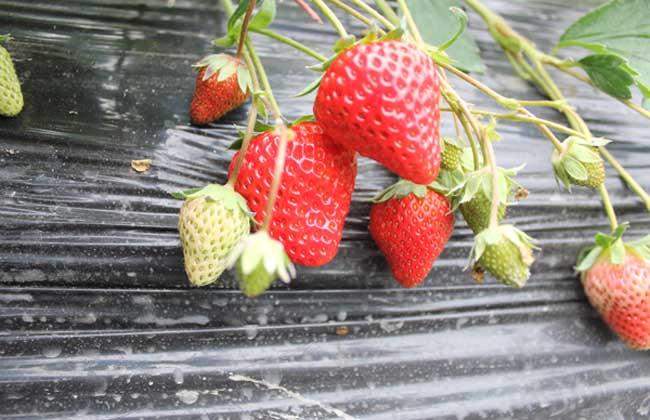 草莓种子多少钱一斤?