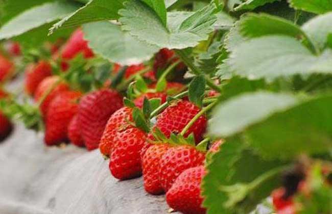 草莓种子多少钱一斤